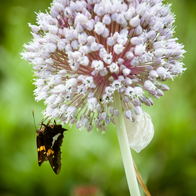 Garlic Bulb and Butterfly